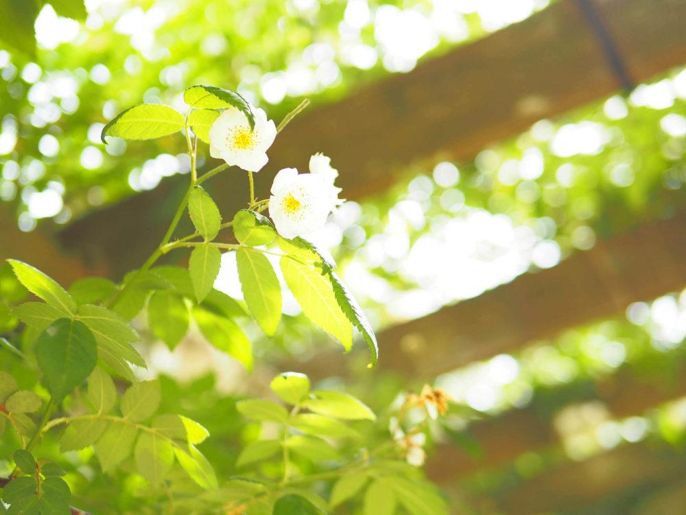 下から見上げる白いバラ