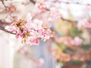 見頃を迎えた川津桜